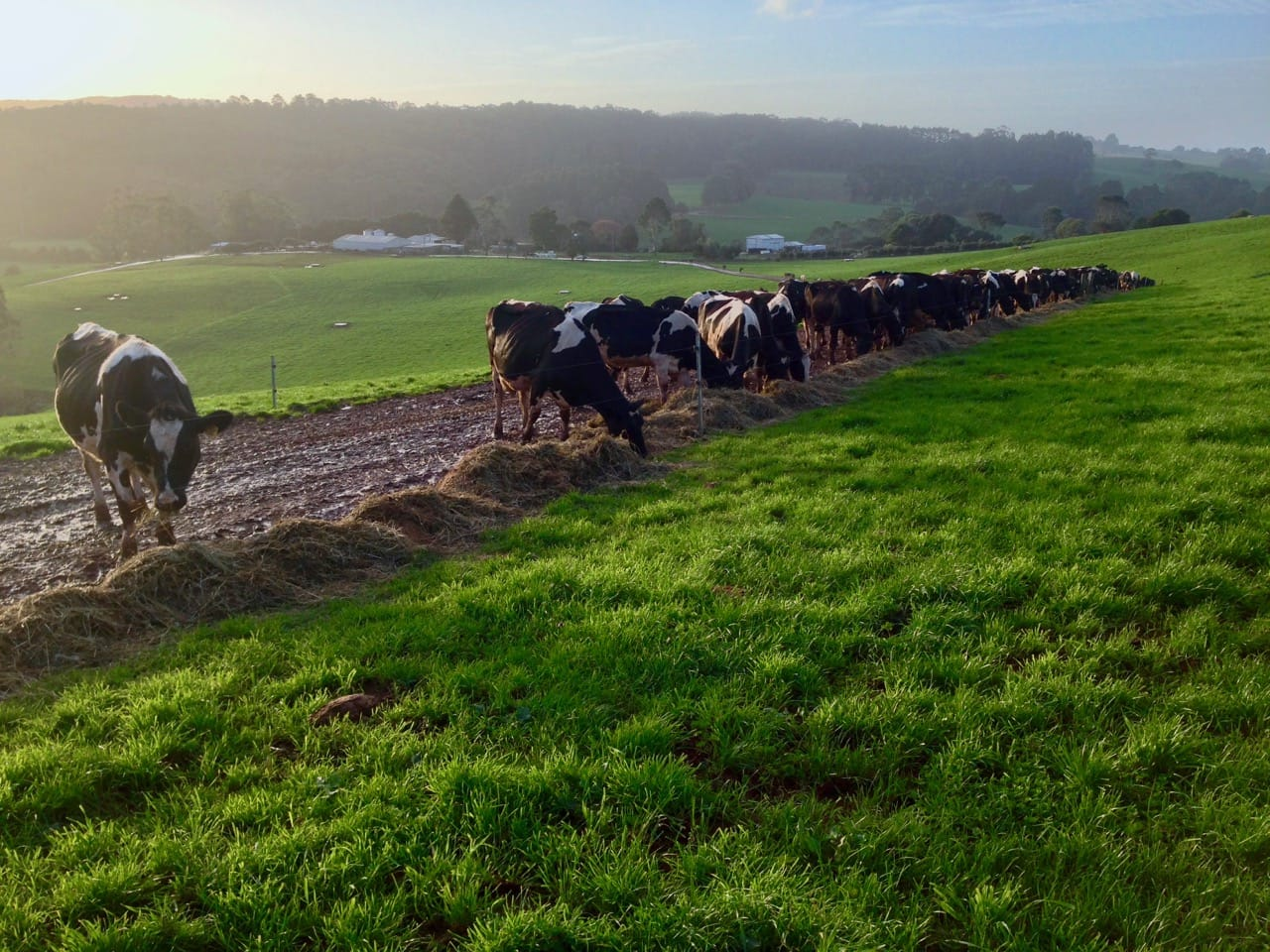 Dairy cows grazing feed under a fence to reduce feed wastage.