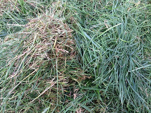 Photo showing a selection of topped pre-graze grass