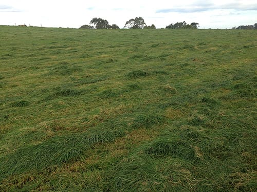 Photo of a paddock of grass topped pre-grazing